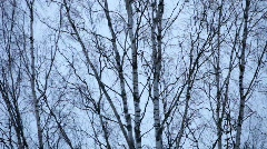 Birch tree shaken by a winter wind Stock Footage