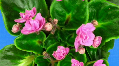 Time-lapse of pink saintpaulia growing against blue background 3 Stock Footage