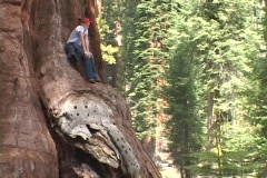 A girl sits in a giant Sequoia tree. Stock Footage