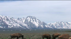 Buffalo Herd Pan Tilt Stock Footage