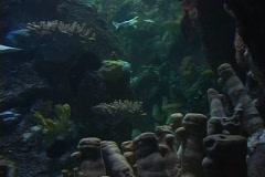 Hammerhead sharks swim near the ocean floor. Stock Footage