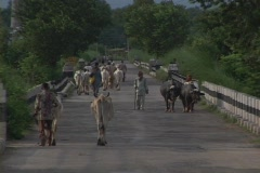Men and cows walk down a country road. Stock Footage