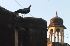 A peacock stands on the roof of a building near the Mogul Dome, India. Stock Footage