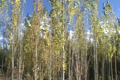 Aspen trees sway in a spring breeze. Stock Footage