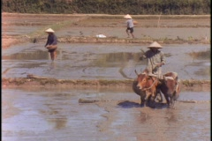 A farmer drives two cows through a muddy field. Stock Footage