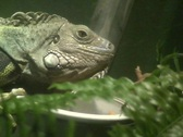 Stock Video Footage of Iguana 2