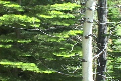 A Poplar tree stands in front of a Pine tree. - stock footage