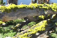 Yellow lichens grow on a fallen tree. Stock Footage