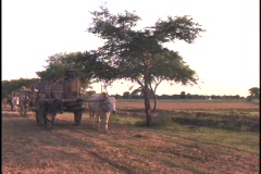 Oxen pull carts down a dirt road. Stock Footage