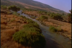 Cattle graze near a river. - stock footage