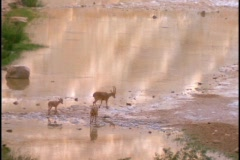 Ibex mountain goats walk near a lake. Stock Footage