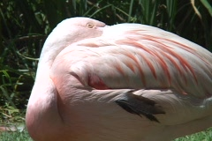 A flamingo sleeps with its head tucked under his wing. Stock Footage