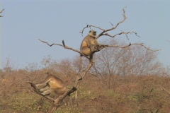 Ringtail monkeys relax in a desert tree. Stock Footage