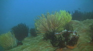 Stock Video Footage of Feather star (Crinoid) on a reef in the Philippines