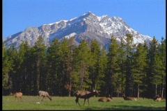 Elk graze in in a meadow in the Canadian Rockies. Stock Footage