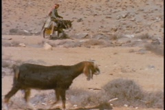 A Bedouin man leads his sheep as he rides on a donkey. Stock Footage