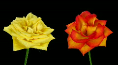 Time-lapse of dying yellow and orange roses ALPHA matte 8 Stock Footage