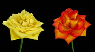 Stock Video Footage of Time-lapse of dying yellow and orange roses ALPHA matte 8