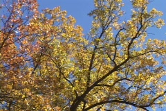 Stock Video Footage of Golden leaves adorn an aspen tree.