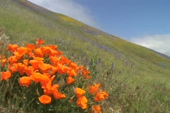 Orange California poppy wildflowers grow in a field. Stock Footage