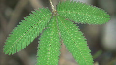 Sensitive plant (Mimosa pudica) - stock footage