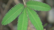 Sensitive plant (Mimosa pudica) Stock Footage