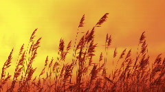 Reed on sunset Stock Footage