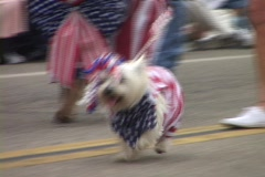 A small white dog bedecked with the American flag and ribbons trots along in a Stock Footage