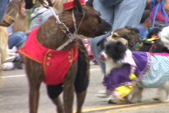 A boxer dog wears a bell hop costume during a parade. - stock footage
