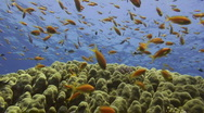Stock Video Footage of Coral reef marine life