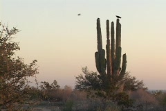 A cactus sits amid pale skies with a osprey bird perched on top. Stock Footage