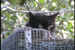 A black cat with green eyes peeks over a wood and wire cage. Stock Footage