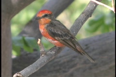 A Vermilion flycatcher perches on a thin limb. Stock Footage