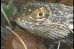 A chuckwallah lizard rests above a dried leaf. Stock Footage