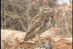 A Burrowing Owl stands on a rock and looks around. Stock Footage