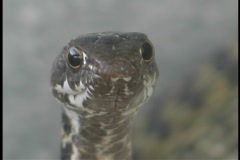 The face of a rat snake looks directly forward. Stock Footage