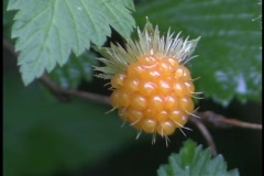 A yellow berry hangs on a tree or bush in the forest. Stock Footage