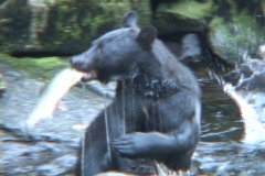 A black bear catches a fish out of the water and eats it. Stock Footage