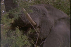 An African elephant eats leaves from a tree. Stock Footage