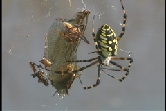 A black and yellow argiope spider wiggles its legs as it hangs from its web. Stock Footage