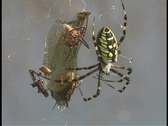 Stock Video Footage of A black and yellow argiope spider wiggles its legs as it hangs from its web.