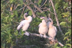 Three large white birds with long necks sit on a branch and bob their heads as Stock Footage