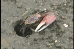 A fiddler crab eats dirt as it slowly crawls out from its hole. Stock Footage