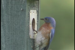 A blue and red bird pokes its head in and out of a hole in a post before it Stock Footage