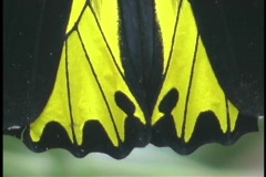 A butterfly displays it's bright yellow and black wings. Stock Footage