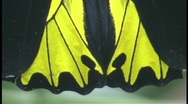 Stock Video Footage of A butterfly displays it's bright yellow and black wings.