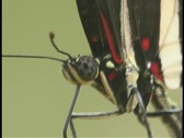 Stock Video Footage of A red and black butterfly moves its legs.