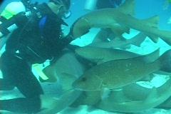 A scuba diver hugs and strokes a nurse shark's belly. Stock Footage