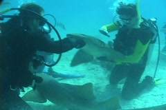 Scuba divers mingle with nurse sharks on the ocean floor. Stock Footage