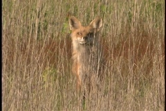 A red fox rests in the tall grasses. Stock Footage
